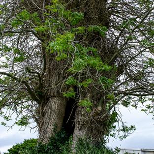 Belfry Tree
