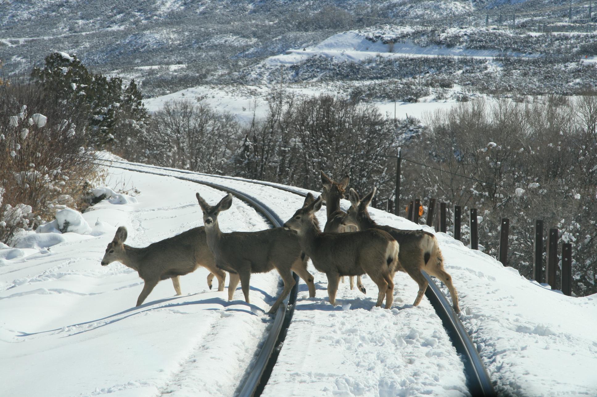 Healy Deer (2)