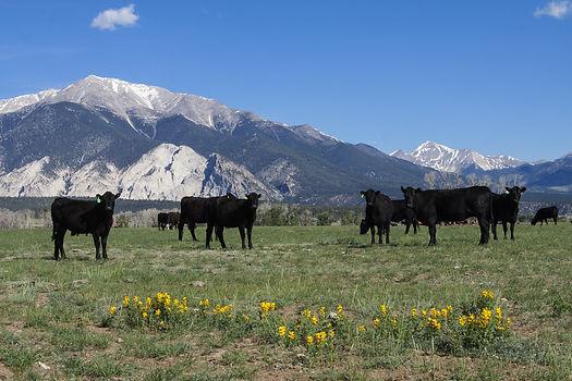 Grazing cattle in spring in the collegia