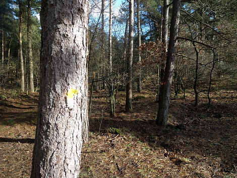 Marked pine trees in mixed forest. Trees