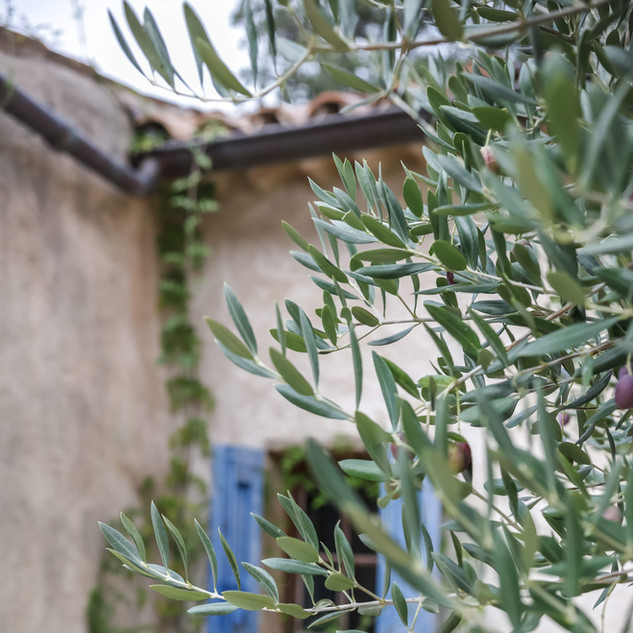 Courtyard Olive Trees