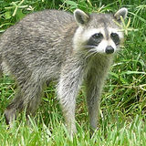 procyon_lotor__common_raccoon_.jpg