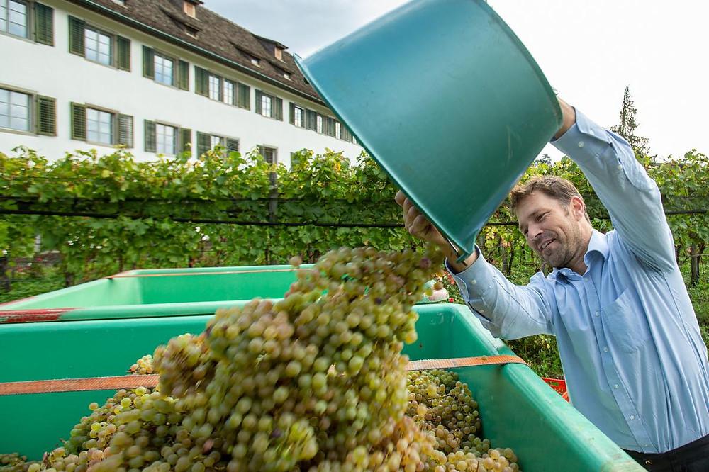 Didi Michel mit den Weintrauben (Quelle: Patrick Gutenberg | Zürichsee Zeitung)