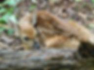 fawn at BB.JPG