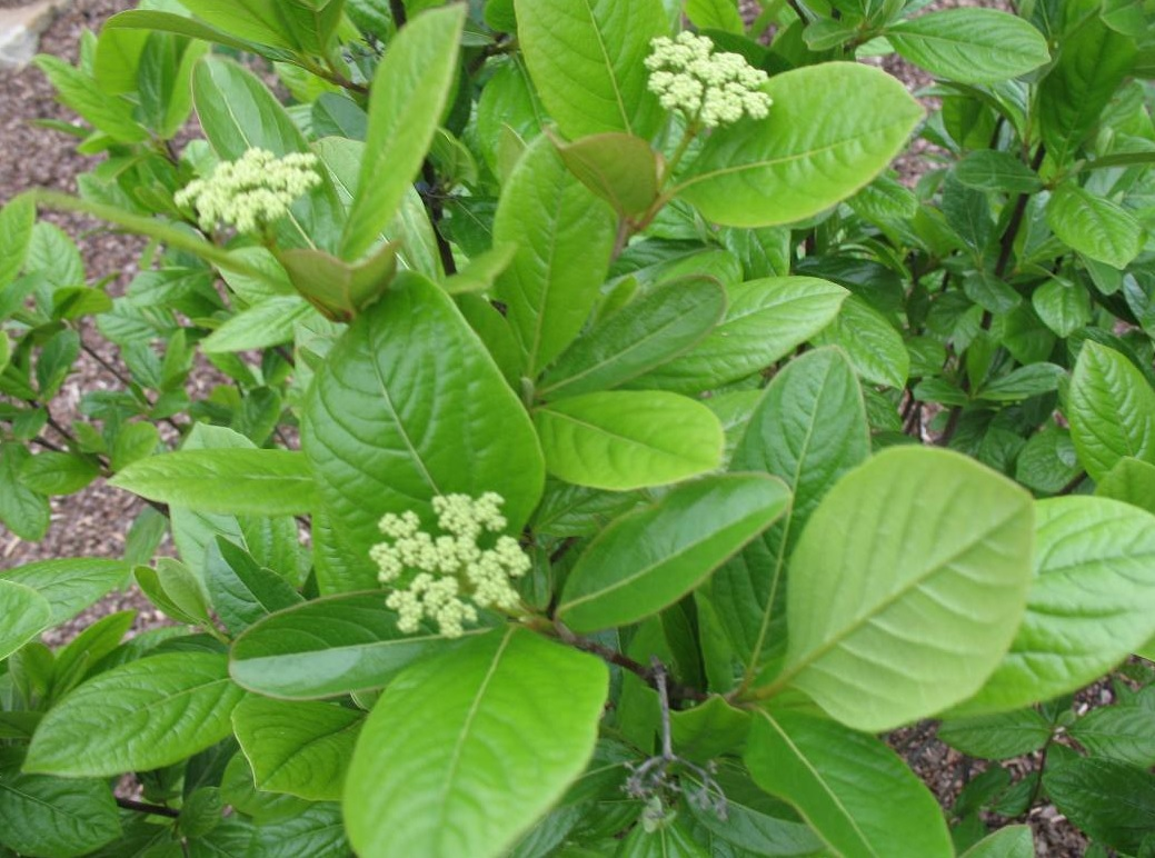 smooth viburnum