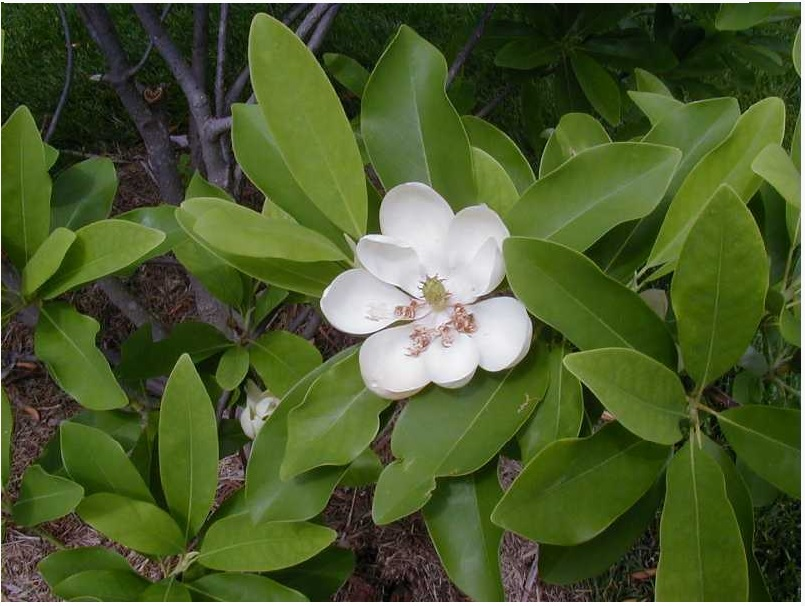 sweet bay magnolia