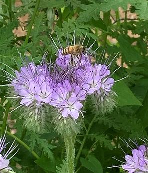 Bee on purple flower.jpeg