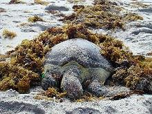 sea-turtle-deceased.JPG.jpg