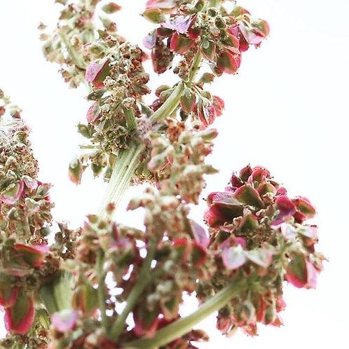 Rhubarb Greeting Card