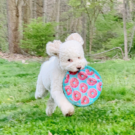 Hyper Pet's Flippy Flopper Dog Frisbee with IG's skyliedoodle