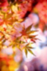 maple_edited.jpg