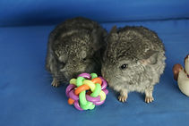 baby chinchillas cutest