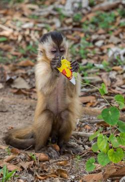 Macaco Prego com Lixo