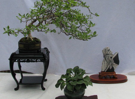 From Nursery to Exhibition: an RMBS New Mexico Privet