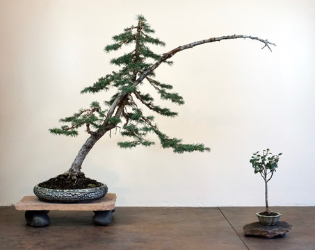 Sub Alpine Fir