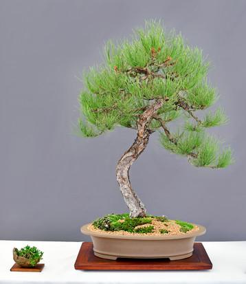 Ponderosa Pine #2