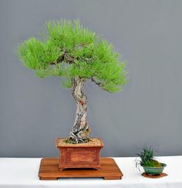 Poderosa Pine #1