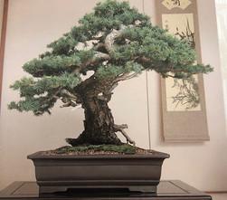 Colorado Blue Spruce #1