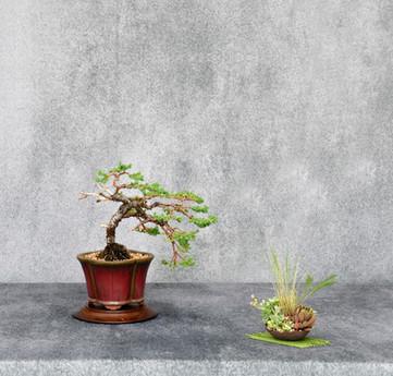 Japanese Juniper