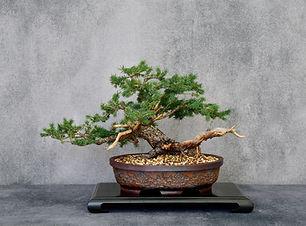 Spruce ralph.JPG
