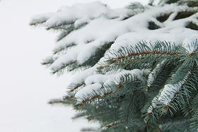 snow-pine-tree-branches.jpg