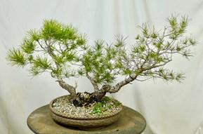 Lodgepole Pine #1