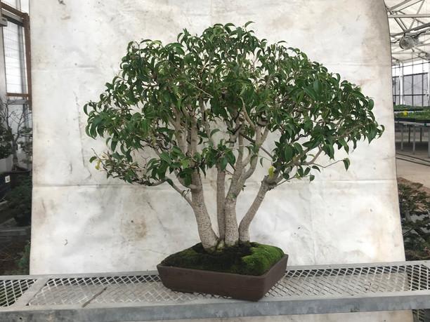 Ficus Benjamina #1