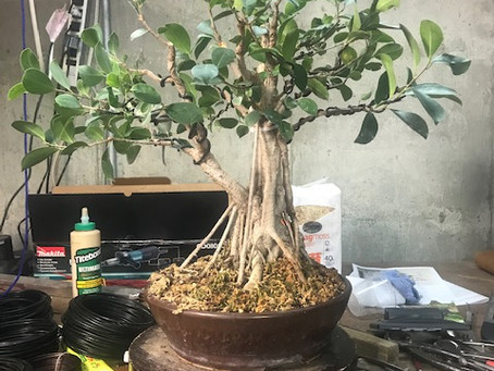 Tale of a survivor: a ficus bonsai and artist grow together