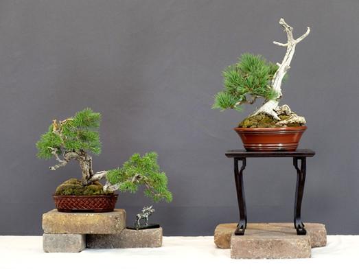Shohin Sub Alpine Fir and Limber Pine