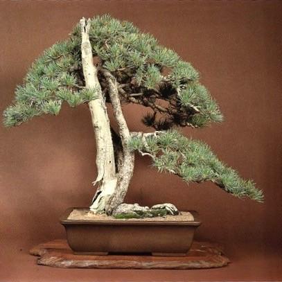 Limber Pine #1