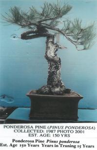Pondorosa Pine #1