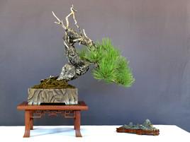 Poderosa Pine
