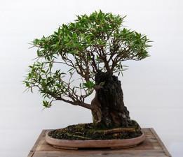 Ficus Salicifolia #1