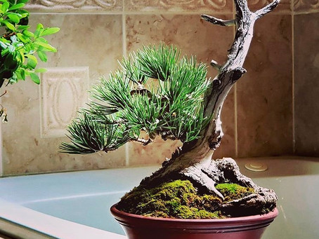 Elevate your bonsai photographs: Tips from the backcountry