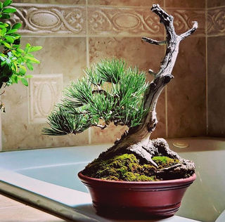 Blog Rocky Mountain Bonsai Society Denver Botanic Gardens