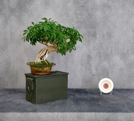 Dwarf Umbrella Tree