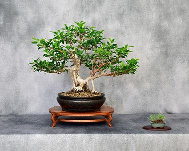 Ficus McP.JPG