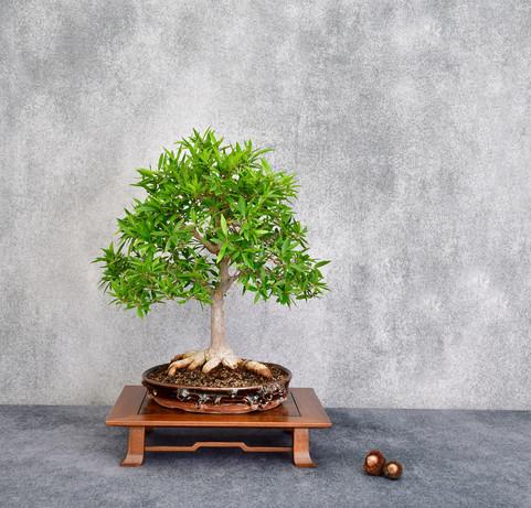 Willow Leaf Ficus