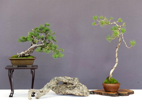 Shohin Englemann Spruce and Lodgepole Pine
