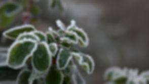 frozen_leaves.jpg