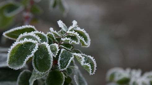 frozen_leaves.jpg