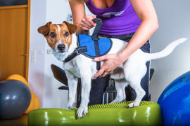jack russel terrier in dog therapy.jpg