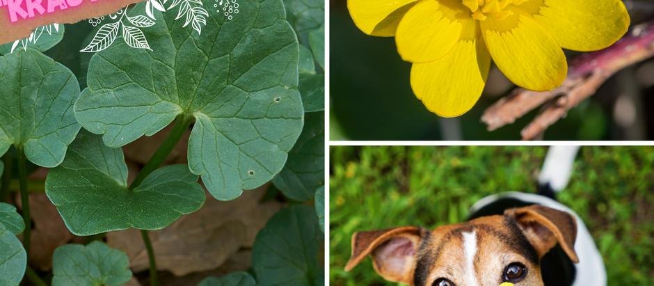Energieschub mit Frühblühern auch für deinen Hund