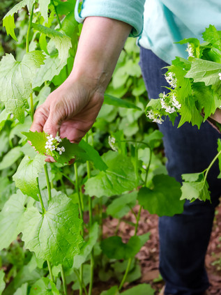 foraging for wild food. A woman picking