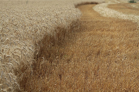 ee grain
