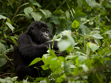7 things you probably didn't know about Mountain Gorilla's!