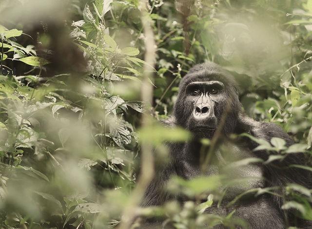 Mountain Gorilla In Uganda Habitat