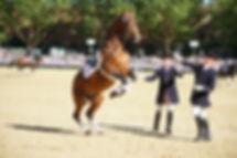 steigendes Pferd, Levade, Warendorf, hohe Schule