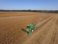 Combine harvesting soybeans