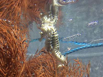 sea horse.JPG